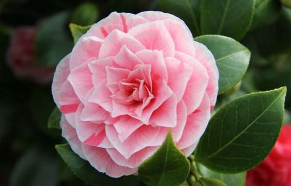 camellia-oil-for-hair-growth