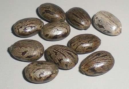 castor-Seeds-1