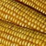 corn oil and ceramides
