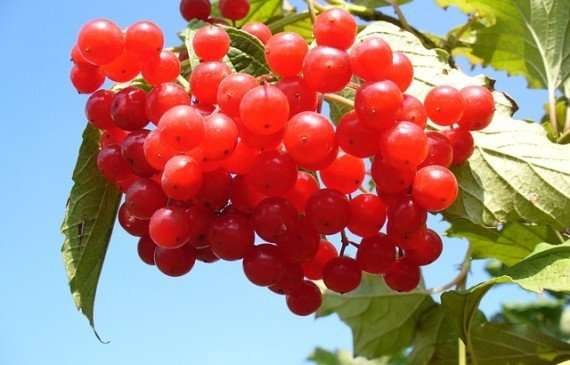 cranberry oil for hair