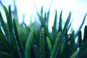 aloe-vera-for-hair-gel
